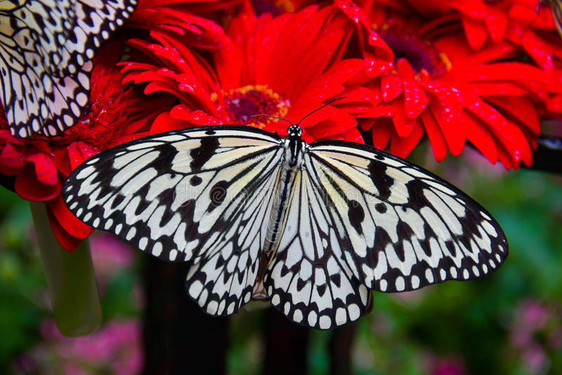 Reuze vlinder op rode Gerbera, de Luchthaven van Singapore Changi, vlindertuin stock afbeeldingen