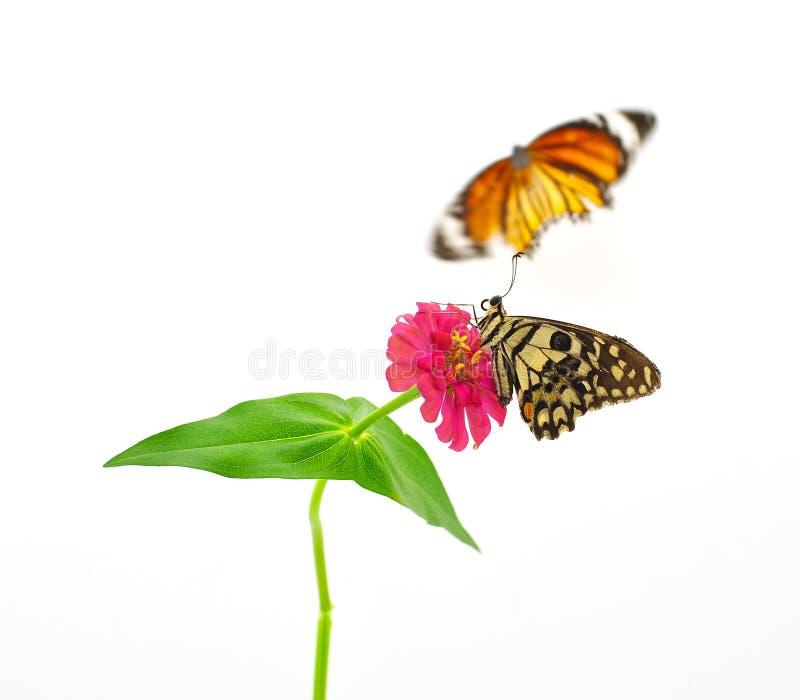 Vlinder op rode roze bloem royalty-vrije stock afbeelding