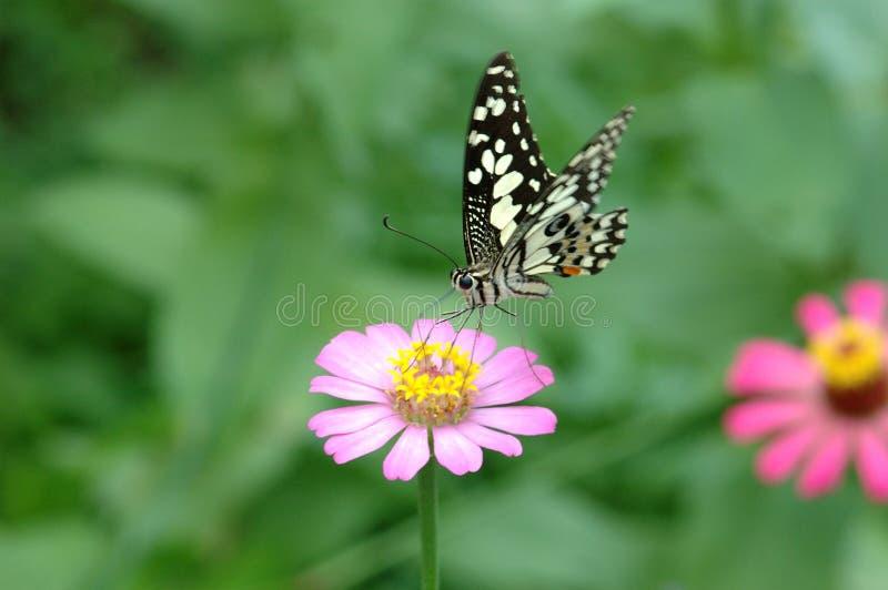 Vlinder op roze bloem stock foto's
