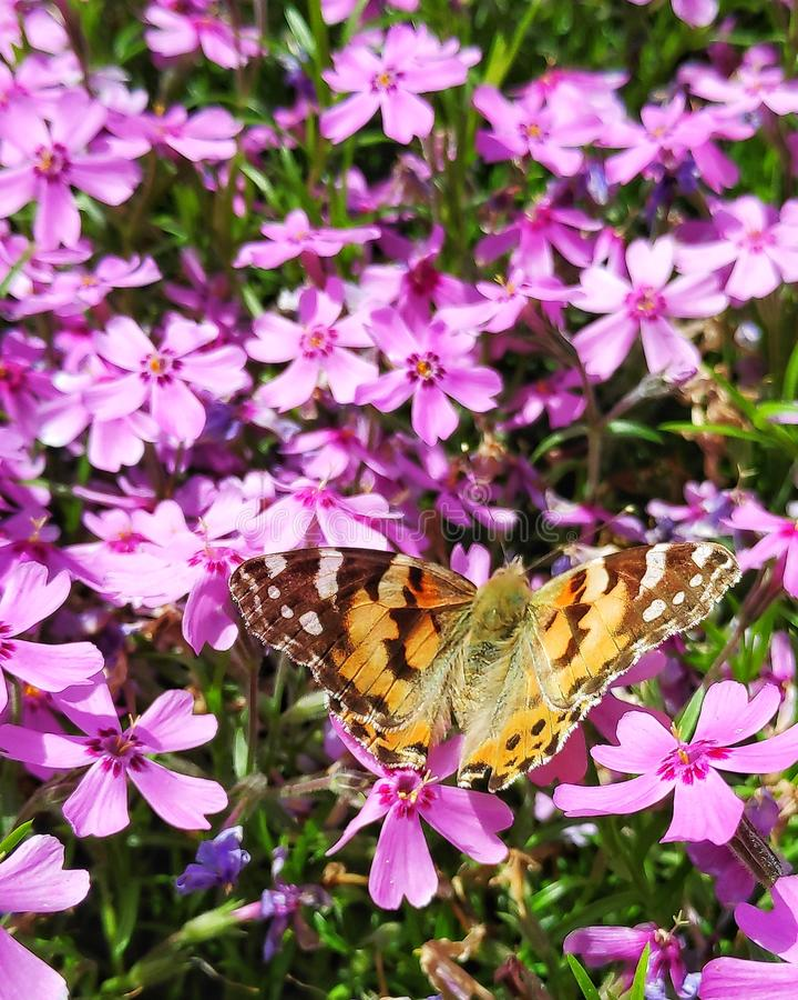 Vlinder op roze tuinbloemen stock foto's