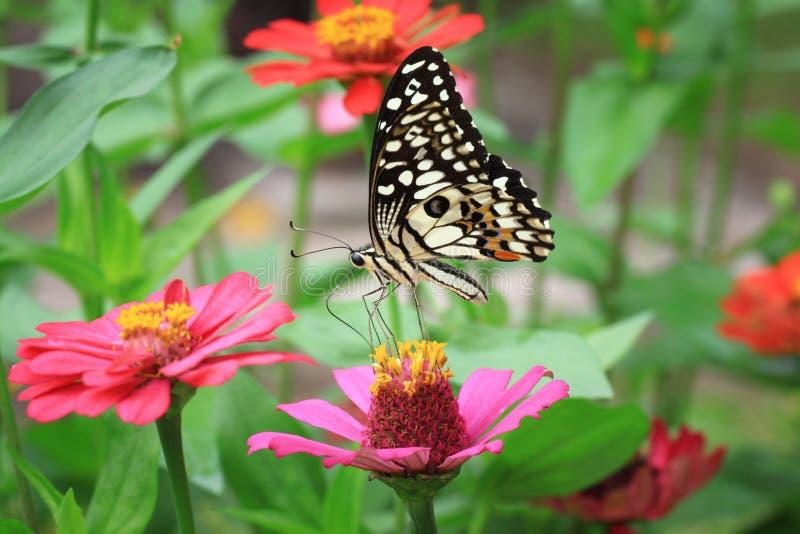 Vlinder op roze Zinnia royalty-vrije stock fotografie