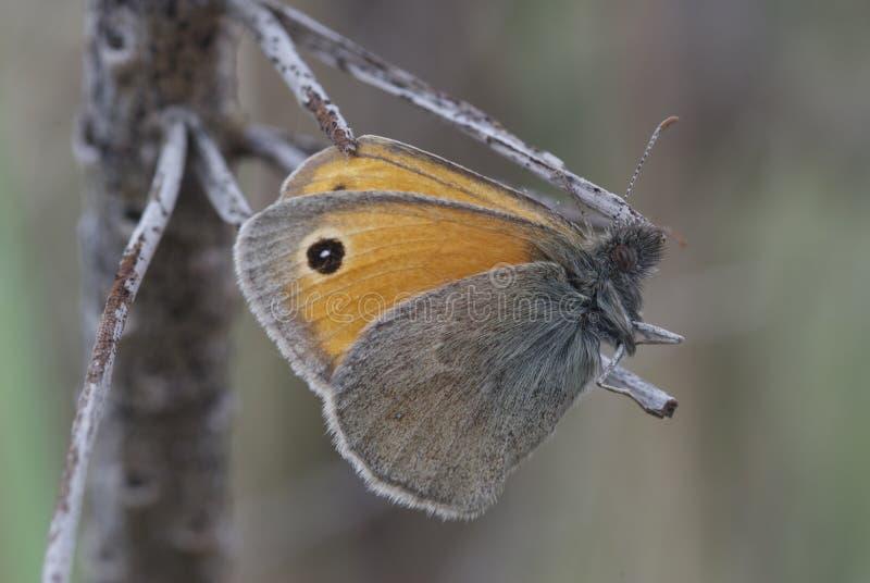 Vlinder op stok stock afbeelding