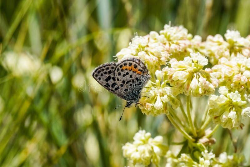 Vlinder op Sulphurflower-umbellatum van Eriogonum van boekweitbloemen, het Nationale Park van Yellowstone royalty-vrije stock foto