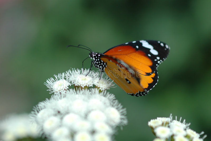Vlinder op witte bloemen 4 stock fotografie