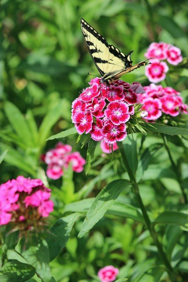 Vlinder op zoete William royalty-vrije stock fotografie