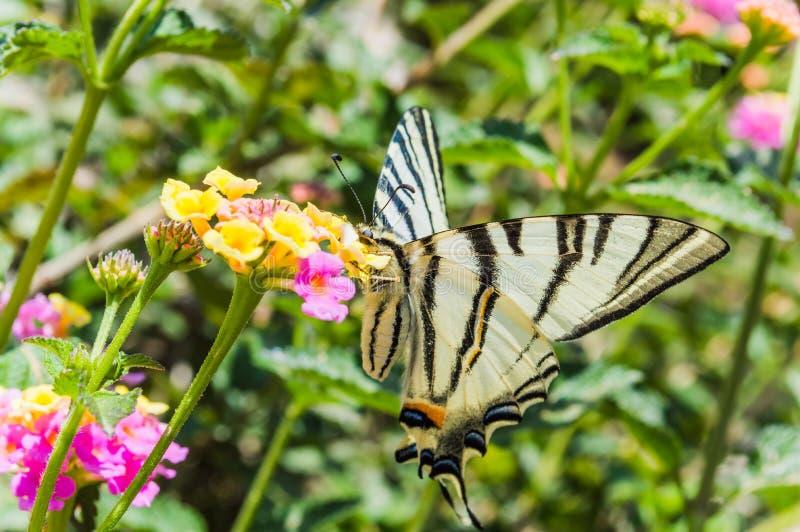 Vlinder Papilio machaon royalty-vrije stock afbeeldingen