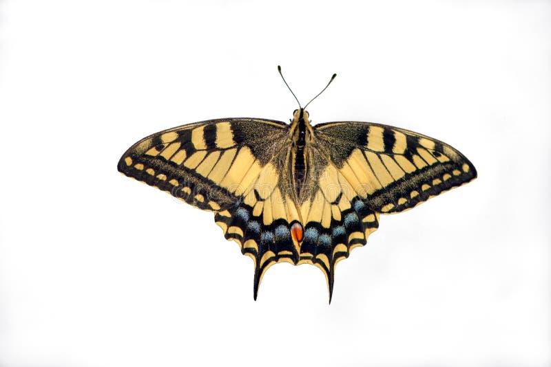 vlinder Papilio machaon met uitgespreide die vleugels op witte achtergrond worden geïsoleerd royalty-vrije stock fotografie