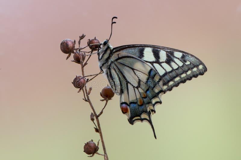 vlinder Papilio machaon op een de zomerdag die in het droge gras zonnebaden royalty-vrije stock fotografie