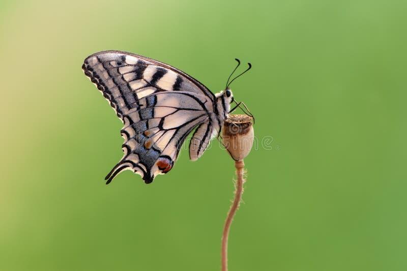 vlinder Papilio machaon op een de zomerdag die in het droge gras zonnebaden royalty-vrije stock foto's