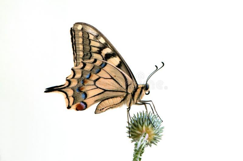 vlinder Papilio machaon op een groene die doorn op witte achtergrond wordt geïsoleerd stock afbeeldingen