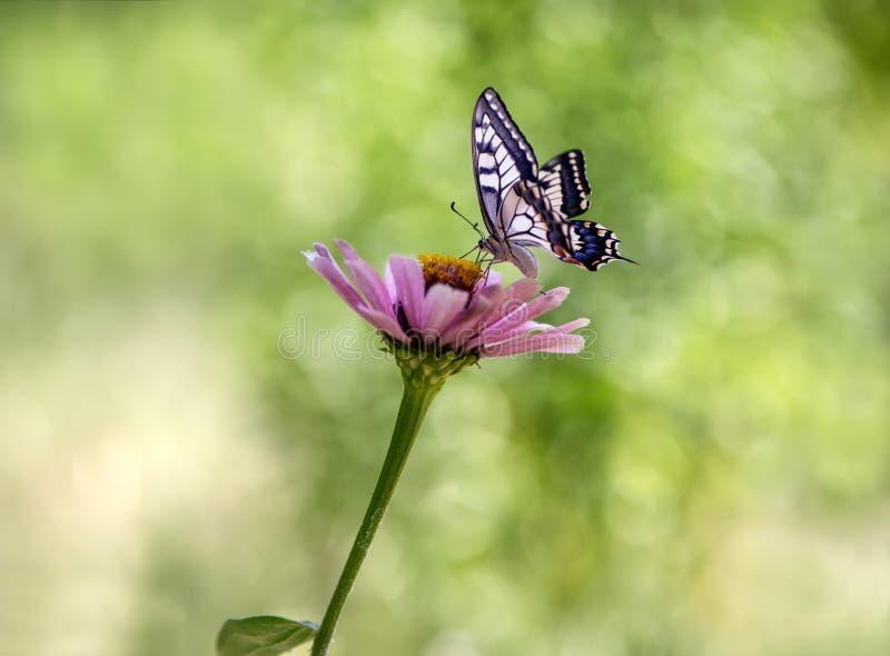 Vlinder Papilio machaon op een rode bloem op een de zomerdag in de tuin royalty-vrije stock foto