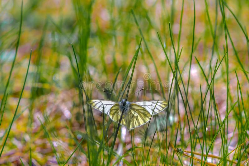 Vlinder, Pieris-napi, in het gras op een sring dag royalty-vrije stock afbeeldingen