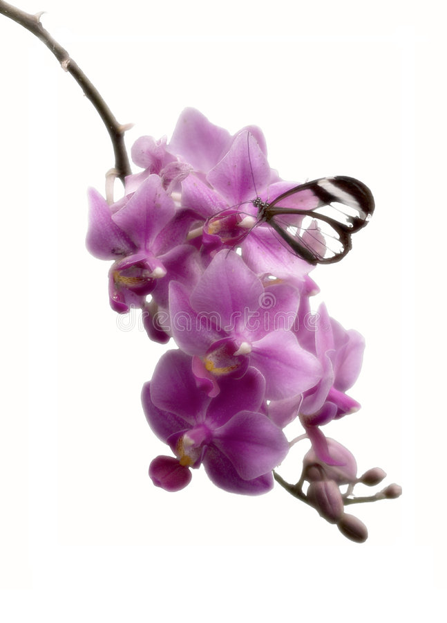 Vlinder in roze royalty-vrije stock foto