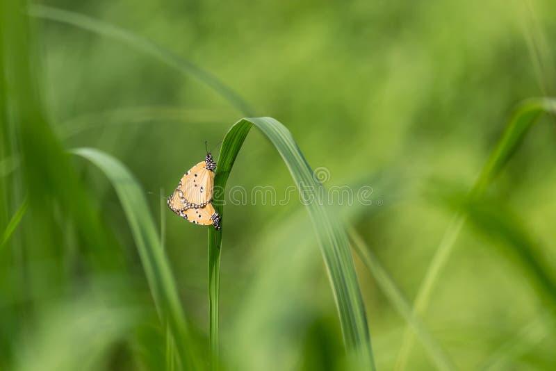 Vlinder (SCHERP) Koppelen stock afbeelding