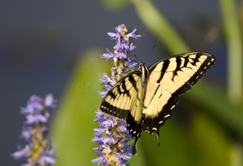 vlinder Swallowtail op een blauwe bloem royalty-vrije stock foto