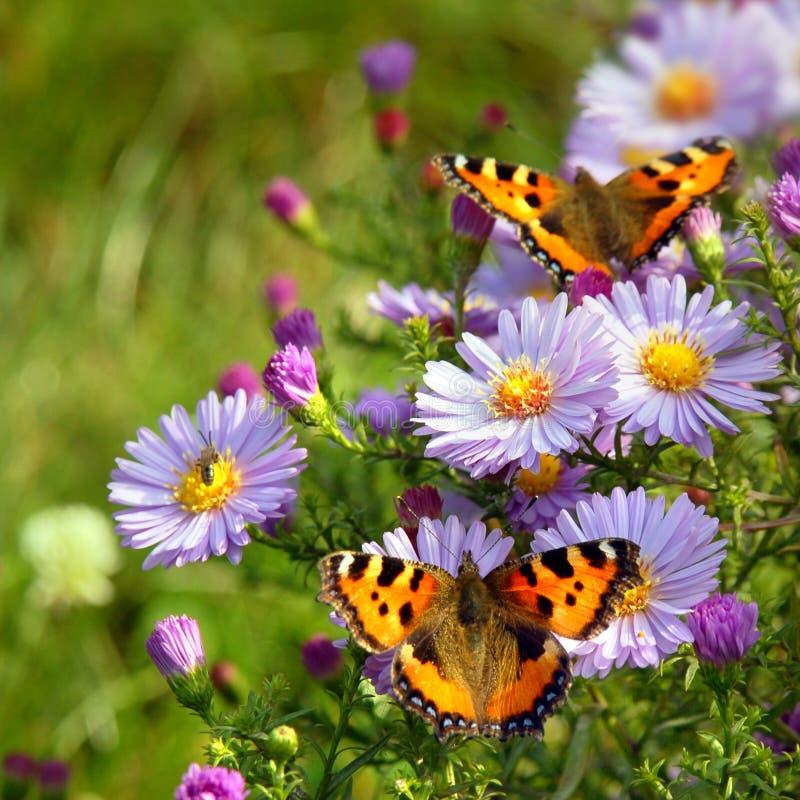 Vlinder twee op bloemen stock fotografie