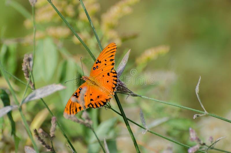 Vlinder van de golf de fritillary Hartstocht stock foto