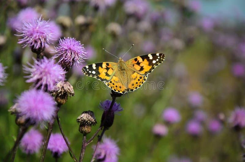 Vlinder Vanessa Cardui op distelbloem stock foto's