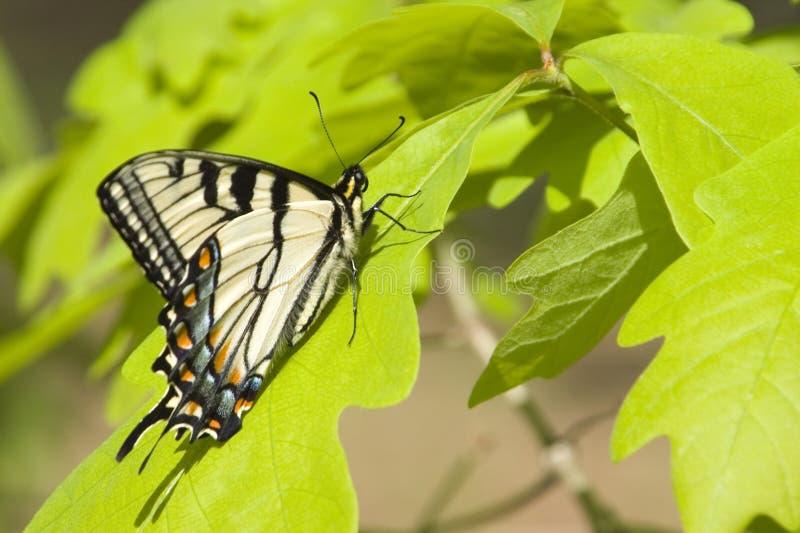 Vlinder VIII royalty-vrije stock fotografie