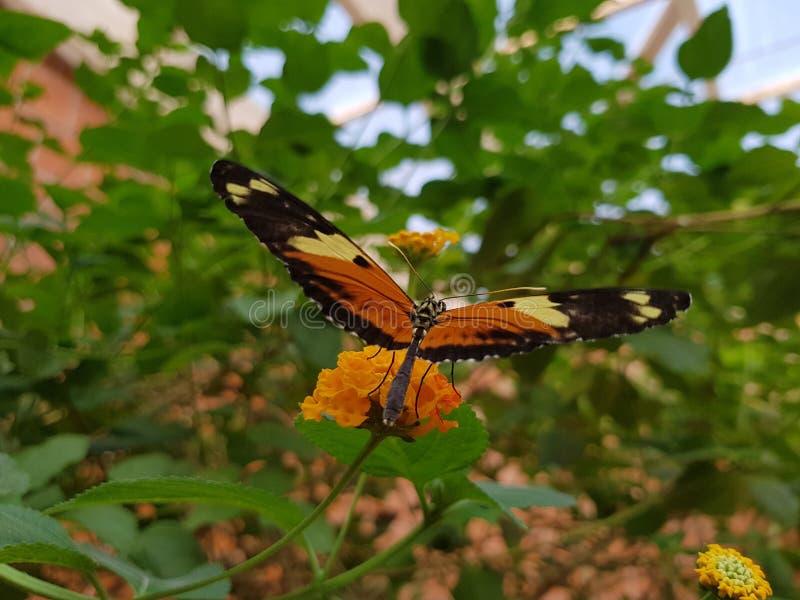 Vlinder wat beginnen te vliegen stock foto