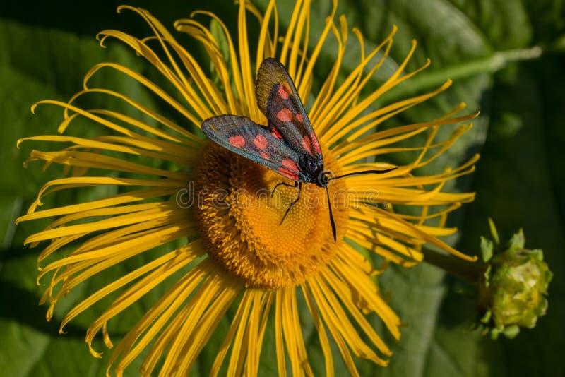 Vlinder zes-vlek burnet (Zygaena-filipendulae) op een bloemgriekse alant stock foto's