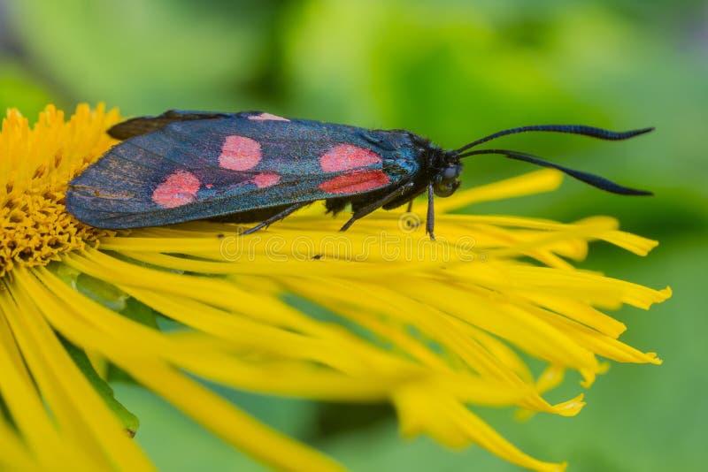 Vlinder zes-vlek burnet (Zygaena-filipendulae) op een bloemgriekse alant royalty-vrije stock afbeeldingen