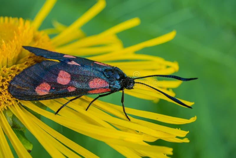 Vlinder zes-vlek burnet (Zygaena-filipendulae) op een bloemgriekse alant stock fotografie