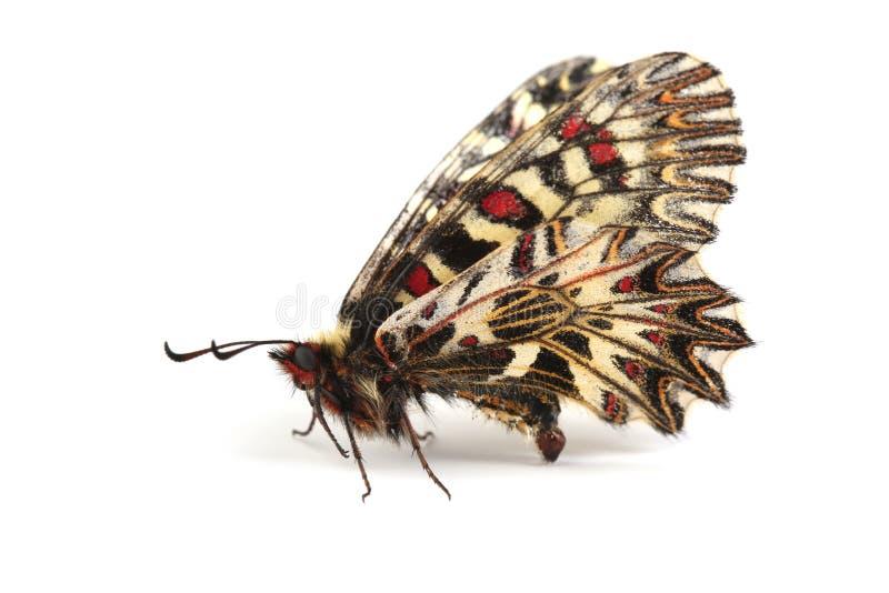 Vlinder - Zuidelijke die polyxena van slingerzerynthia op wh wordt geïsoleerd stock foto