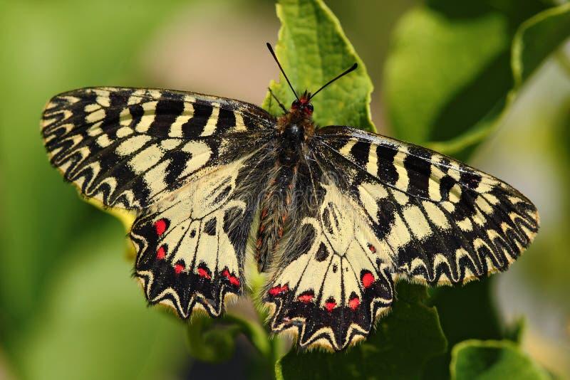 Vlinder Zuidelijke Slinger, Zerynthia-polyxena, die op de bloem, de zomerscène, Slowakije zitten stock afbeeldingen