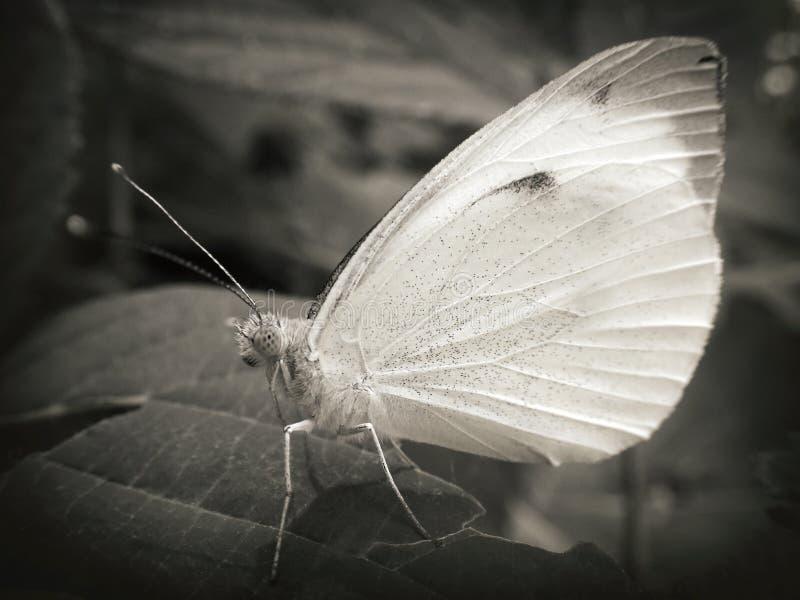 Vlinder in zwart-wit royalty-vrije stock afbeeldingen