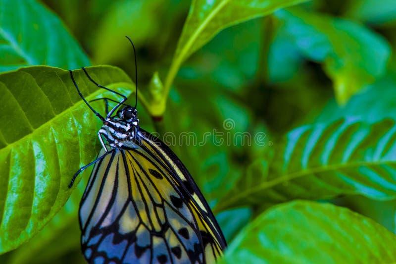Vlinderclose-up op heldergroene bladeren royalty-vrije stock afbeelding