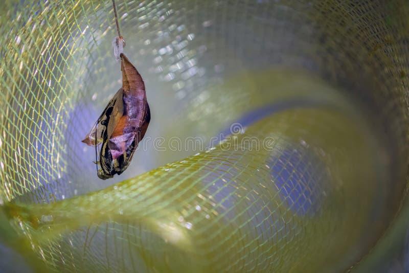 Vlinderlarve het hangen milkweed tak en staat te komen op het punt stock foto
