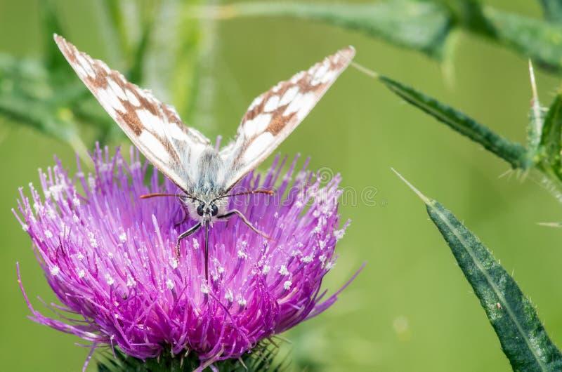 Vlindermacro stock foto's
