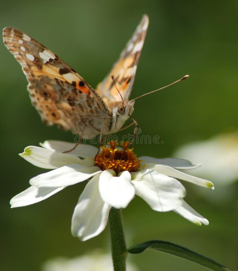 Vlindermacrophotography royalty-vrije stock afbeelding