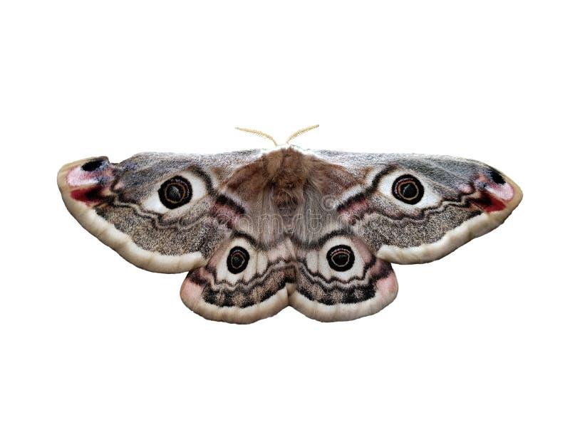 Vlinderogen op hun ruggen stock foto