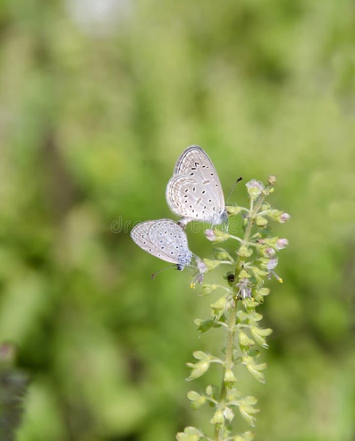 Vlinderpaar royalty-vrije stock foto
