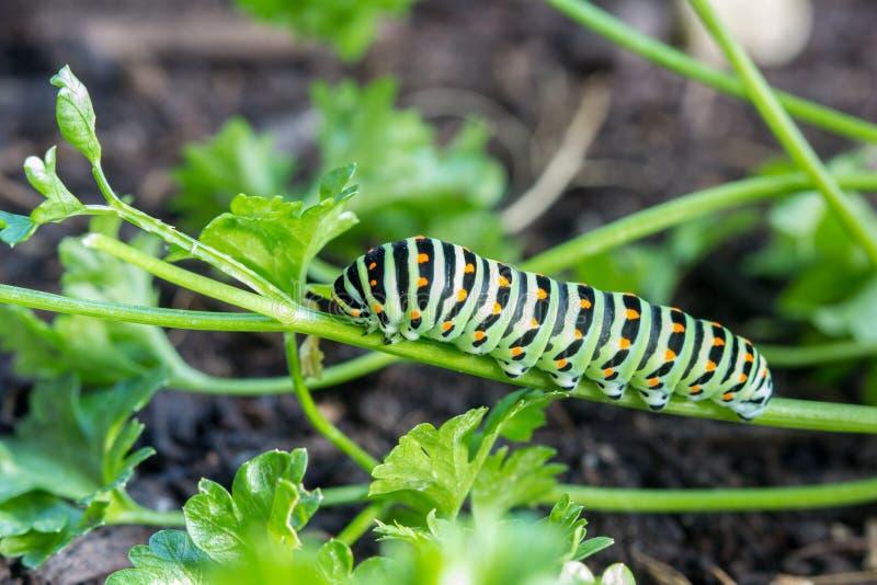 Vlinderrupsband Swallowtail Papilio machaon royalty-vrije stock afbeeldingen