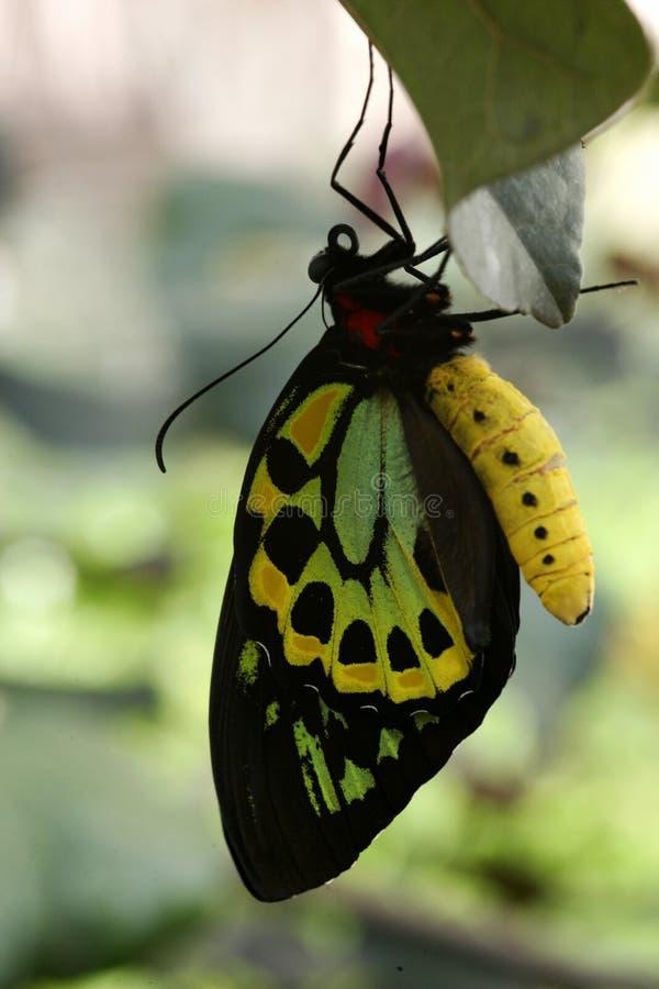 Vlinders stock afbeeldingen