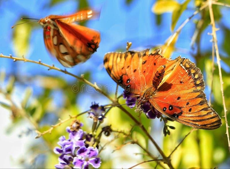 Vlinders royalty-vrije stock foto's