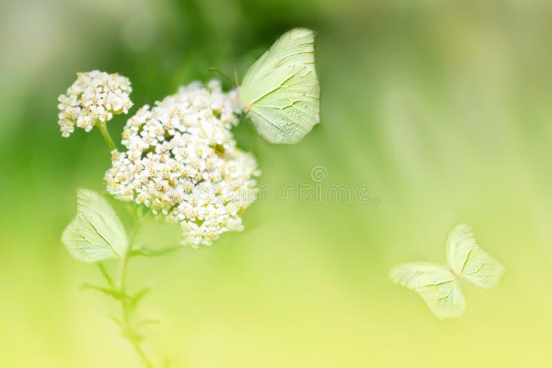 Vlinders op de witte bloem tegen een achtergrond van wilde aard in gele tonen Artistiek beeld Zachte nadruk royalty-vrije stock afbeelding