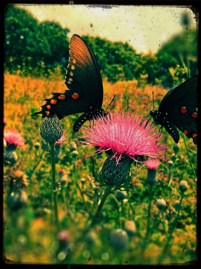 Vlinders op Distel stock fotografie
