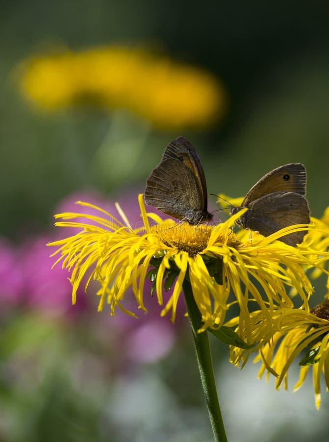 Vlinders op een zonnebloem royalty-vrije stock foto's