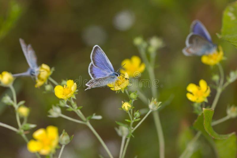 Vlinders op gele bloemen stock afbeelding