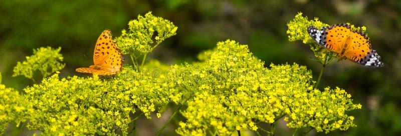 Vlinders op gele bloemen stock foto
