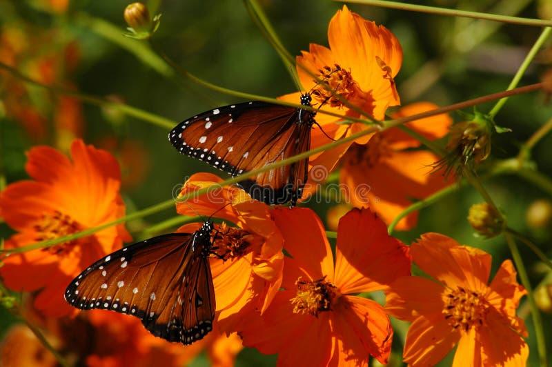 Vlinders op Papavers royalty-vrije stock foto