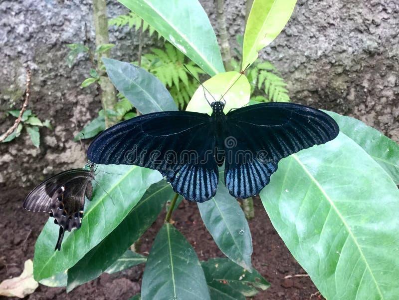 Vlinders Twee stock afbeeldingen