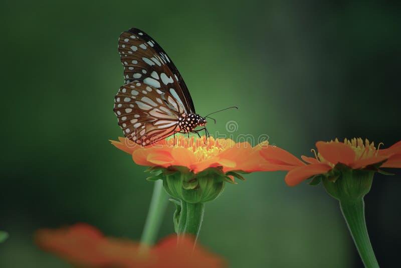 Vlindersnoepje royalty-vrije stock foto