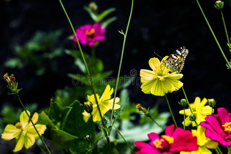 Vlindertoppositie op de gele bloem in de tuin royalty-vrije stock foto's