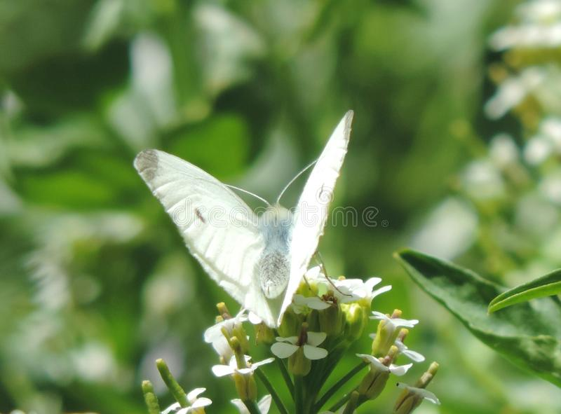 vlindervin stock afbeeldingen