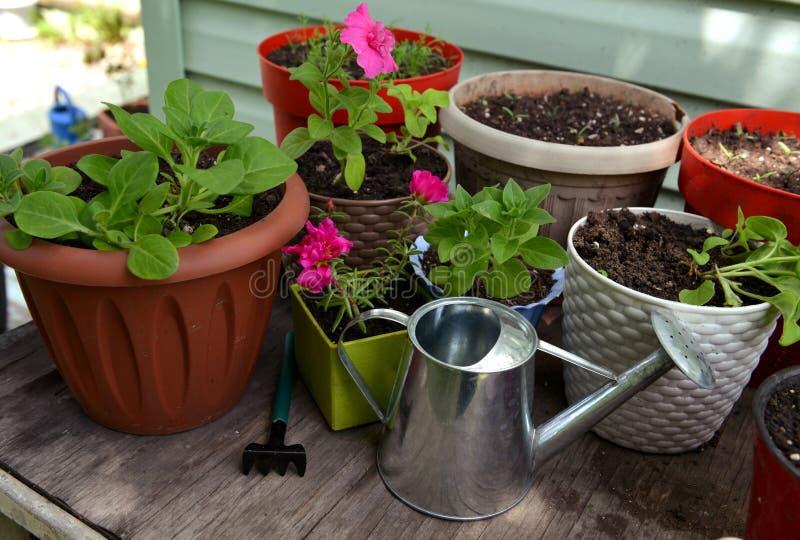 Vloerpot met spruitjes van petunia-bloem, bewateringsblik en werktuig op tafel royalty-vrije stock fotografie